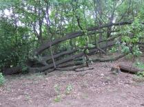 Leña del árbol caído 1